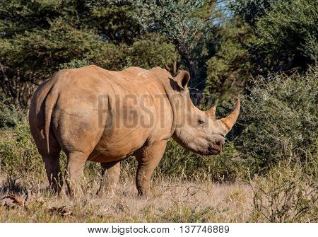 One White Rhino standing in savannah in Southern Africa