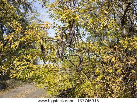 Honey Locust tree (Gleditsia triacanthos) with fruit in autumn