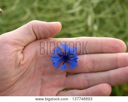 Hand Hold Blue Cornflower In Blossom. Green Ripe Oilseed Field