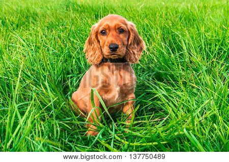 English Cocker Spaniel Puppy Sitting On The Grass