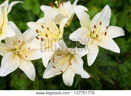 White Lilies With Rain Drops In The Garden