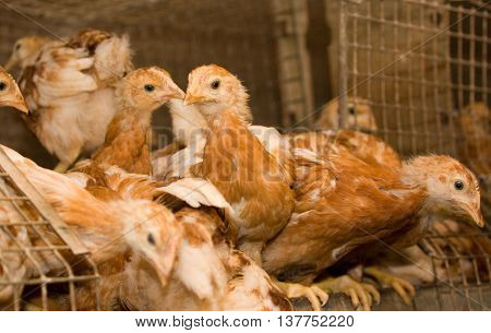 Young brown chickens in a cage at the poultry farm