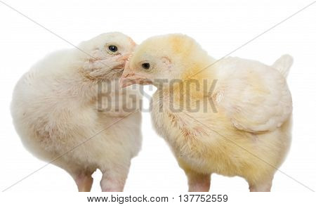 A two-week broiler chickens isolated on a white background