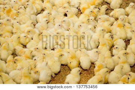 A lot of one-day broiler chickens at the poultry farm