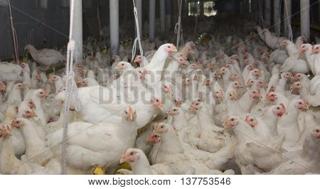 Young white hens on the poultry farm