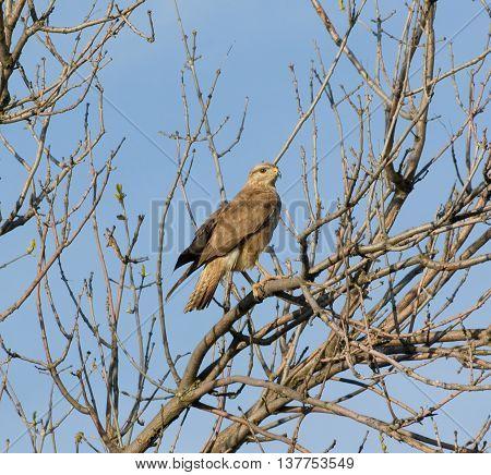 Portrait of a bird of prey on a tree branch