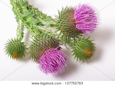 Fresh Thistle With Flowers. (silybum Marianum)