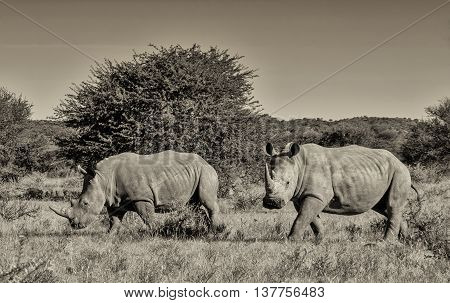 A black and white shot of two White Rhinos walking across savannah in Southern Africa