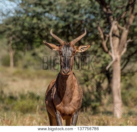 Portrait of a Tsessebe antelope in Southern African savannah