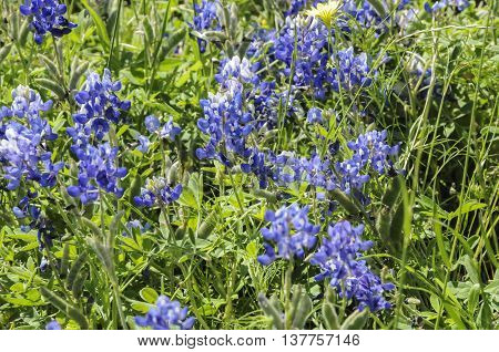 A landscape of wild bluebonnets wild in nature.