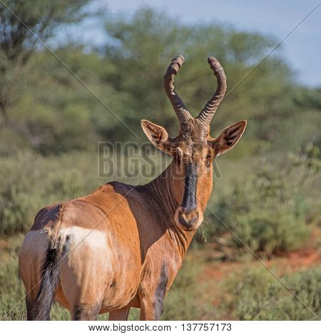 An adult Red Hartebeest standing in Southern African savannah