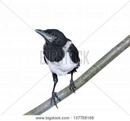 Young magpie chickс isolated on white background