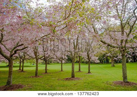 Flowering cherry tree grove in Auckland's Cornwall Park New Zealand