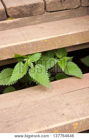 Stinging nettle grows through old wooden steps