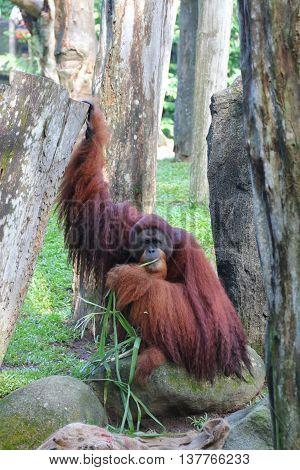 An Orangutan with long hair  happily enjoying its meal