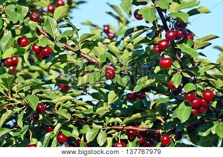 Fruit growing in eastern Europe, cherry orchard