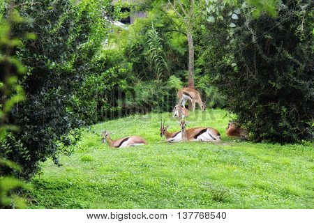 antelopes sitting on green grass in zoo park