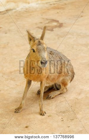 Patagonian Mara on the ground in the garden