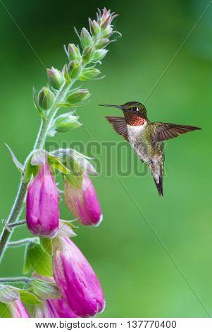 Hummingbird hovering on pink flower over bright summer background