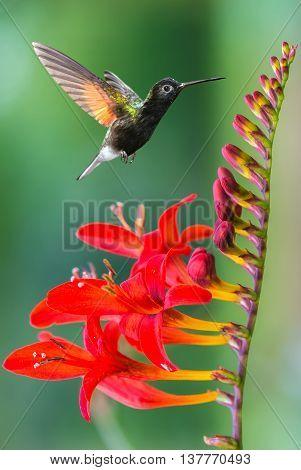 Hummingbird in motion approaching beautiful red flower