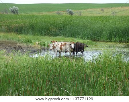 Cattle standing in a pond of water keeping cool.
