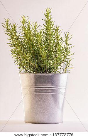 rosemary plant in a aluminum vase on white background