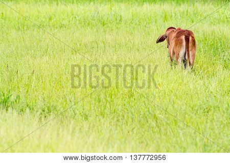 Thai calf turns her back to me on the green field