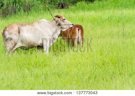 Thai calf stay whit her back to me and mother is licking her