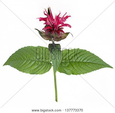 Monarda flower (oswego tea, scarlet beebalm) on a white background
