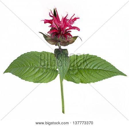 Monarda flower (oswego tea, scarlet beebalm) on a white background