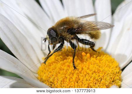 A Narcissus Bulb Fly on a Daisy