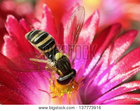 Hoverfly (aka Syrphid Fly) on Ice Plant Flower