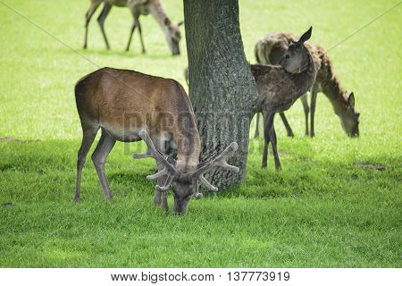 Red Deer Herd Cervus Elaphus Grazing In Field Near Tree