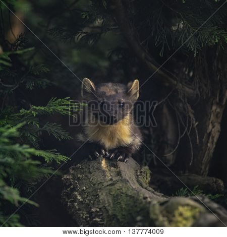 Stunning Pine Martin Martes Martes On Branch In Tree
