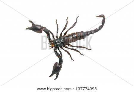 Scorpion predator, insect isolated on white background
