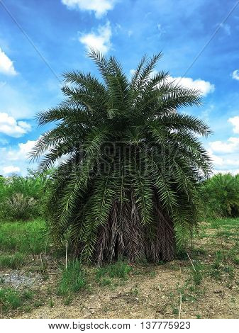 Big Palm Tree for decorated in the garden.