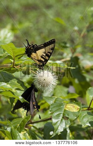 Tiger and Eastern Black Swallowtail Butterflies on Common Buttonbush Wildflower