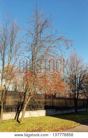 rowan tree near the fence in autumn park