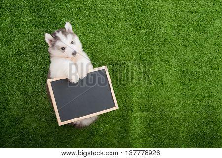 Cute siberian husky lying and holding blackboard on greengrass