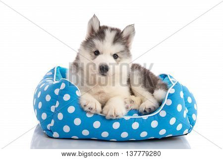 Cute siberian husky lying on pet bedisolated white background