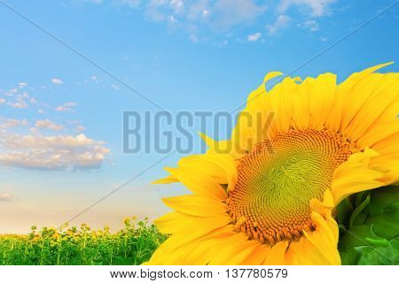 sunflower field / bright summer photo field of Ukraine
