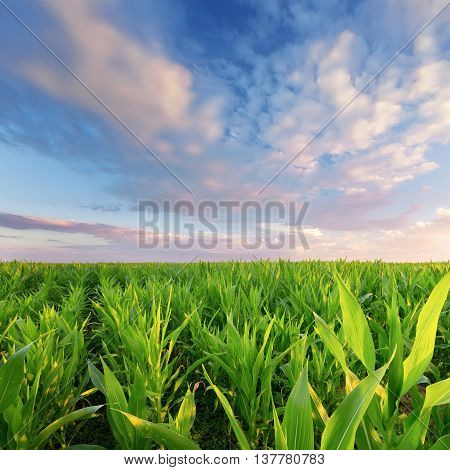 colorful sky over a cornfield / summer Ukraine before sunset