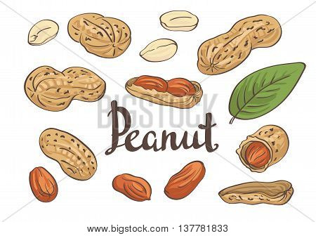 Hand-drawn peanuts, kernels and leaves. Vector illustration.