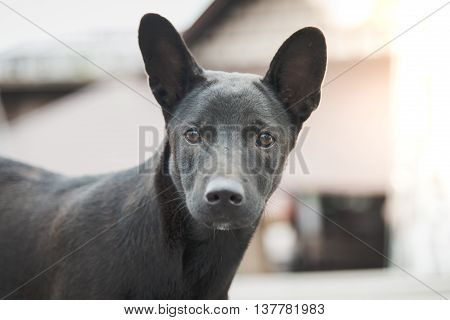 Close up of a black stray dog