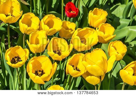 Yellow tulips in the garden in Czech Republic