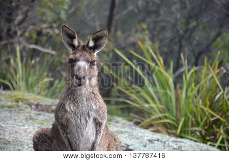 Curious kangaroo is watching you in the bush