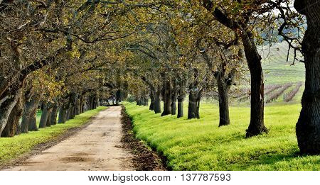 Landscape with a Oak tree Avenue on a wine farm