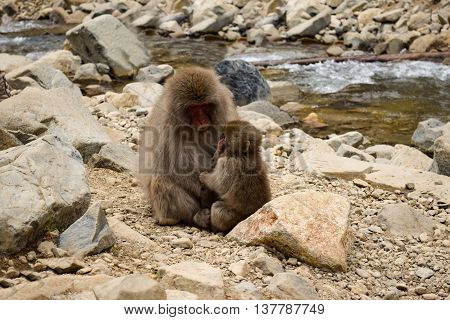 Parent And Child Snow Monkey In Jigokudani Yaen-koen, Japan