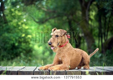Irish terrier dog with the red tape on the neck lies on the wooden bridge on the nature forest background