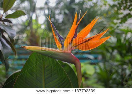 Flower Strelitzia reginae(bird of paradise crane flower). Close up shot.
